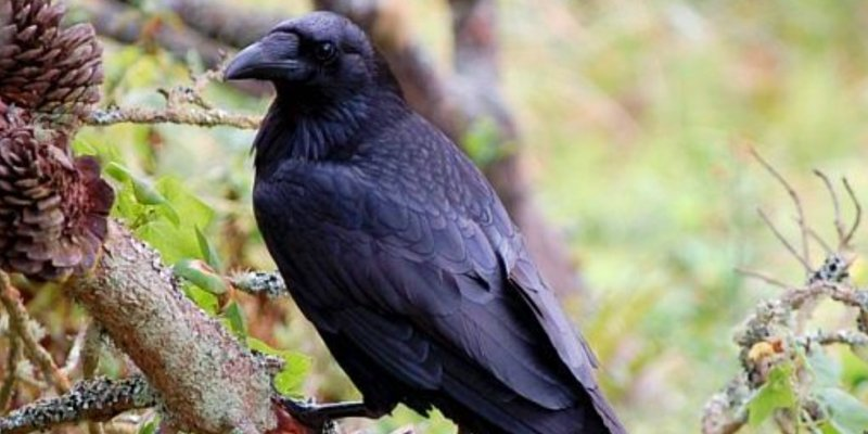 raven-on-tree-branch
